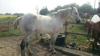 9 year old 1/2 Andalusian 1/2 Percheron mare