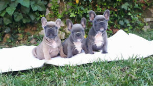 High quality French Bulldog puppies for sale