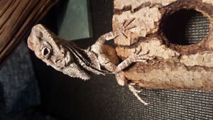 Year old frilled dragon and 75gal setup with stand