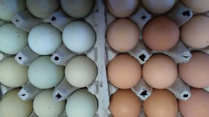 Mixed-breed Chicken Hatching Eggs
