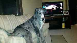 Intact Male Great Dane