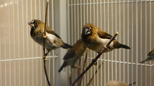 Beautiful Society Finches for Sale