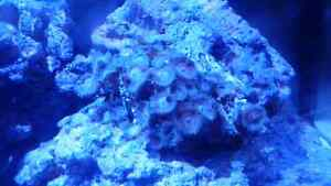 Paly corals on live rock