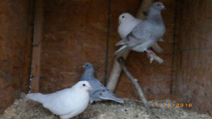 young homing pigeons