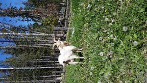 Buck goat
