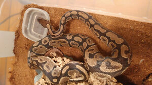 Female normal ball python