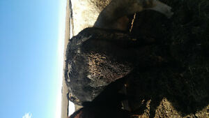 Registered 3yr old blk angus