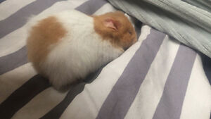 Syrian Hamster with all Nessesities Kitchener / Waterloo Kitchener Area image 2