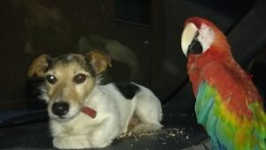 Wanted female Jack Russell
