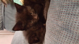 Black med Hair Kittens boys Cambridge Kitchener Area image 2