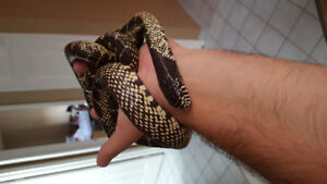 Selling few snakes from my collection