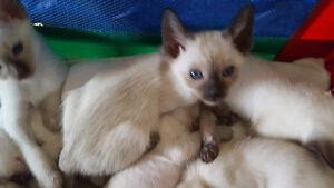 8 chatons Tonkinois