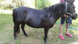Two Miniature Ponies available