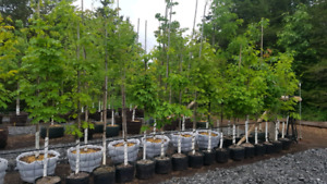 Native Trees for Sale