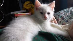 Manx (cabbit) kittens*hypoallergenic*