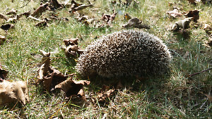 im looking for a young female hedgehog :) to join the family