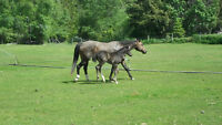 REG.ApHCC 9 YEAR SOLID BAY MARE WITH COLT