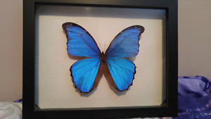 Blue morpho didius real butterfly framed!