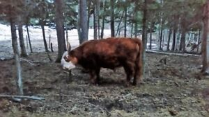 Two Year Old Scottish Highland x Miniature Hereford Bull