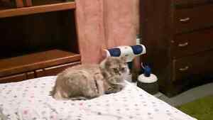 Purebred Unregistered Persian Spayed & declawed 1yr. Nonsmoker