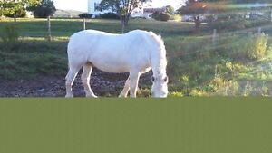 Percheron Gelding