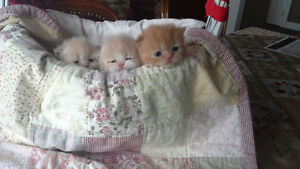 Gorgeous Purebred Persian Kittens for sale