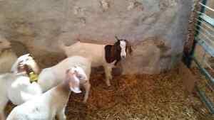 Boer/Kiko Goat Doelings