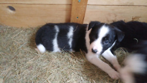 Non gmo puppies males and females available
