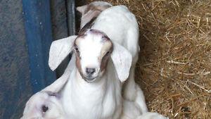 2 Boer Influenced Kid Goats