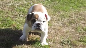 Looking for foster families for our English Bulldogs