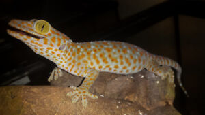Captive bred Tokay geckos