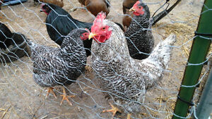 VERY RARE - Barred Holland chickens
