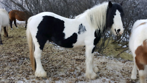 Reg. Gypsy stallion