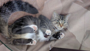 Lost gray tabby outdoor cat, 11 months old, not neutered