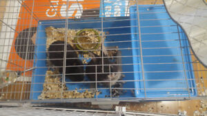 Free 2 bunny with cage