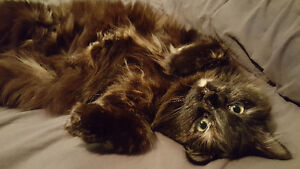Free, Beautiful cat looking for a new home.
