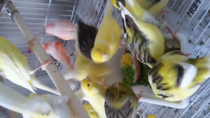 Canaries for rehomeing