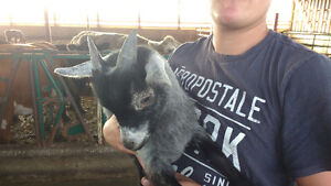 Cute Male Baby Goat for sale.