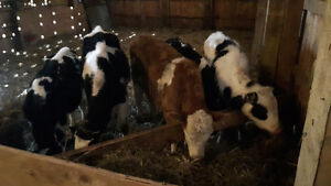 4 Holstein steers want gone make an offer