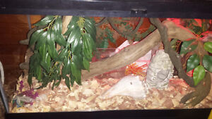 Corn snake with tank and stand