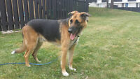 For Adoption - Paco, German Shepherd/Dane Mix