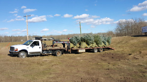 6 - 10 ft. Blue and white spruce trees for sale ....with delvery