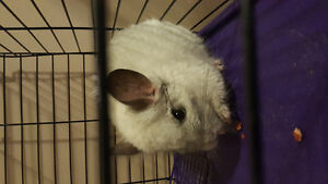 Lovely Chinchilla in need of rehoming