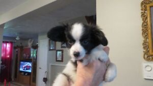 Papillon cross Shih Tzu puppy *reduced price* **One Left**