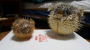 Two taxidermy puffer fish for sale