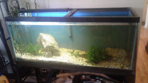 78 gallon tank with 3 Large Bichir(will sell fish separate)
