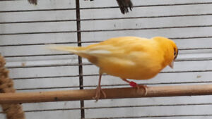 Female Fife canary. 10 months old. Breeding ready.
