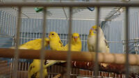 2.5 months old budgies find a good home :0)