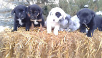 Cute Puppies!  Lab/Blue Healer mother bred  to Poodle cross.