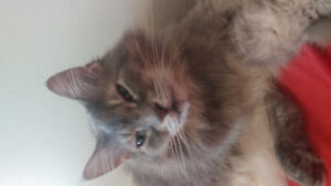 Lost female Cat, Clarkson/Red River area.